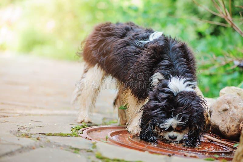Água potável descuidado do cão do spaniel de rei Charles da poça na caminhada no jardim do verão fotografia de stock royalty free