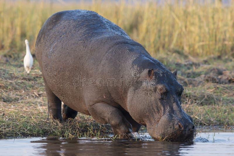 Água potável do hipopótamo foto de stock