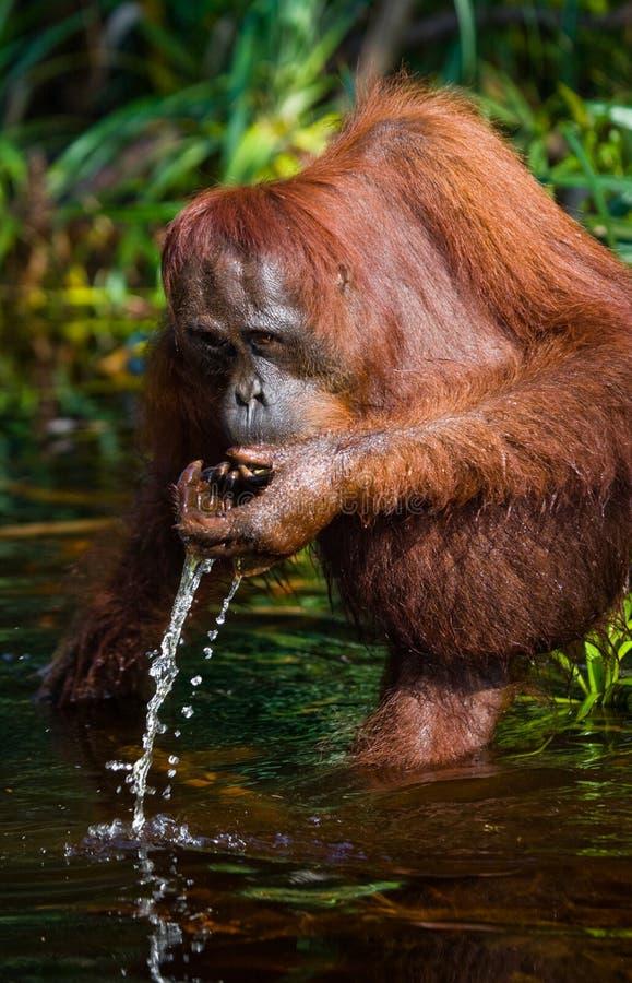 Água potável do orangotango do rio na selva indonésia A ilha de Kalimantan & de x28; Borneo& x29; imagens de stock