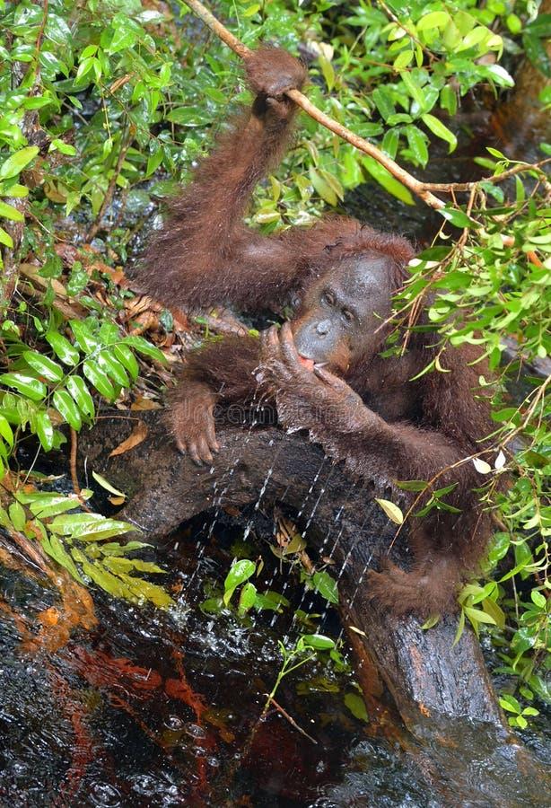 Água potável do orangotango do rio na selva Wurmbii central na natureza selvagem, na do pygmaeus do Pongo do orangotango de Borne imagens de stock royalty free