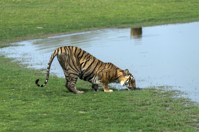 Água potável do tigre fotos de stock