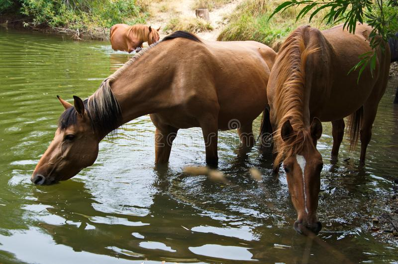 Água potável dos cavalos do lago fotos de stock royalty free