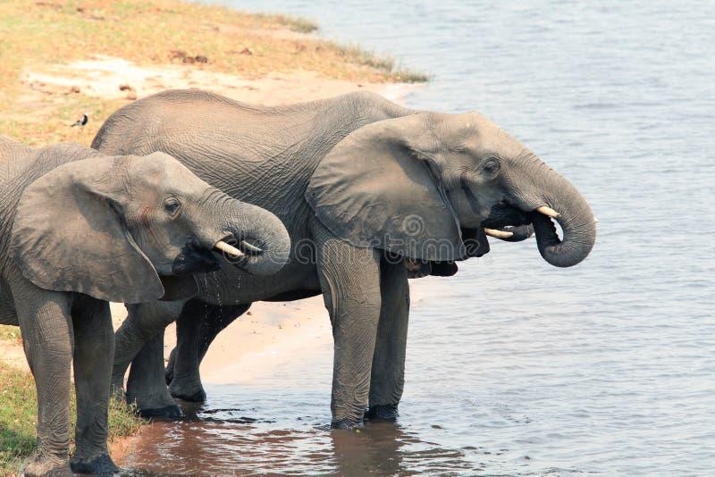 Água potável dos elefantes africanos do rio fotos de stock royalty free