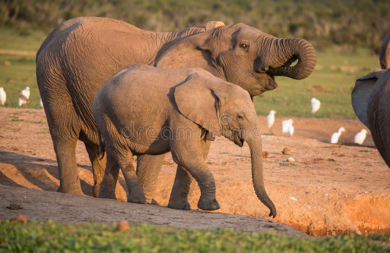 Água potável dos elefantes africanos no fim da tarde fotos de stock royalty free
