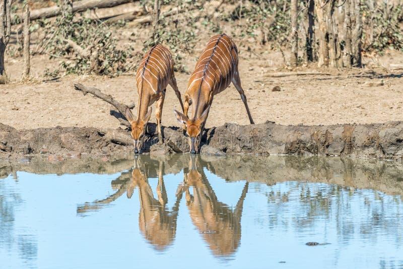 Água potável dos touros e das vacas do Nyala em um waterhole imagem de stock