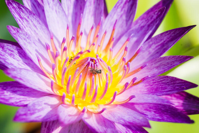 Água roxa lilly foto de stock