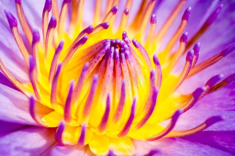 Água roxa lilly imagem de stock royalty free