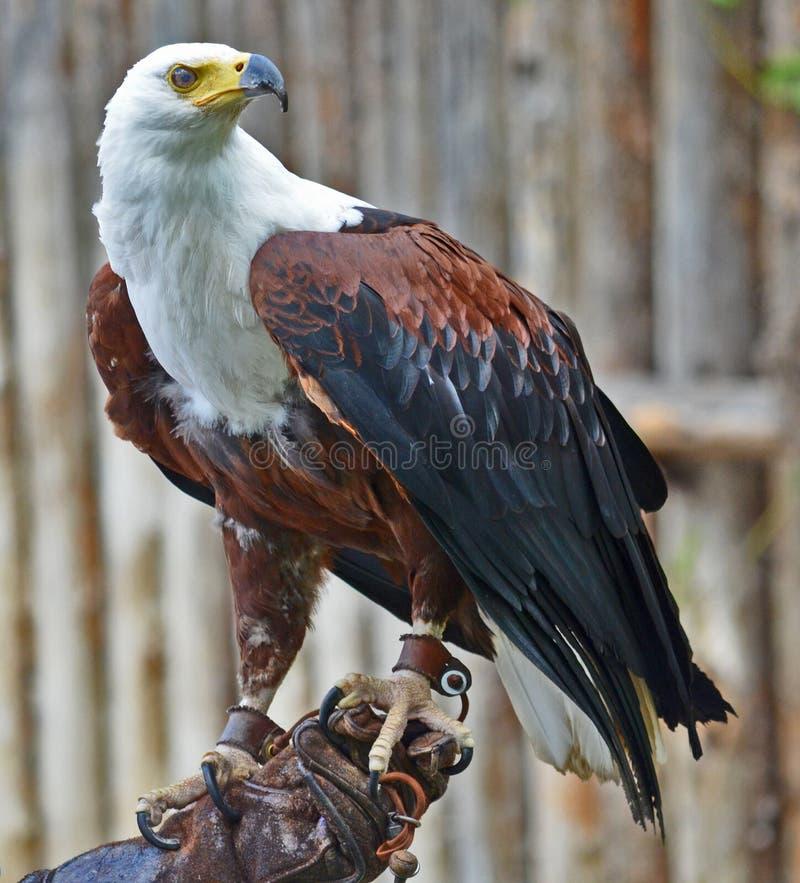 águia fotos de stock