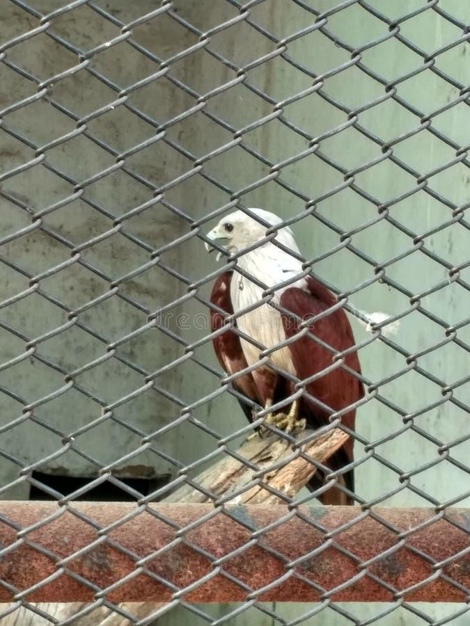 águia foto de stock royalty free