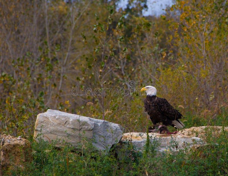 Águia americana adulta empoleirada no roadkill fotografia de stock