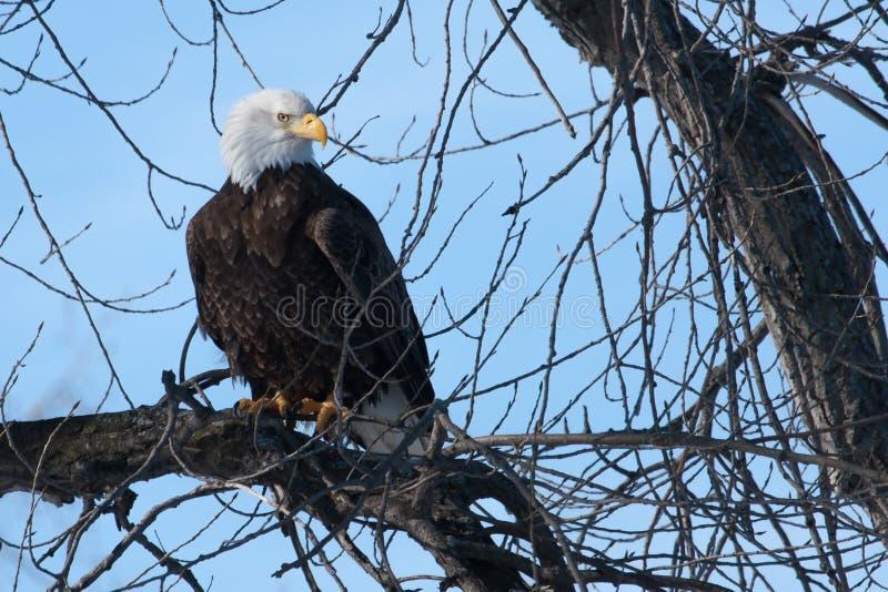 Águia americana americana imagens de stock royalty free