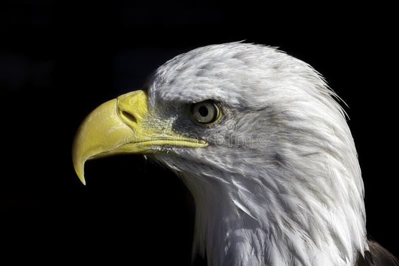Águia americana americana no perfil imagem de stock
