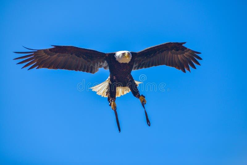 Águia americana americana nos pássaros da mostra da rapina no parque de Palmitos em Maspalomas, Gran Canaria, Espanha fotografia de stock royalty free