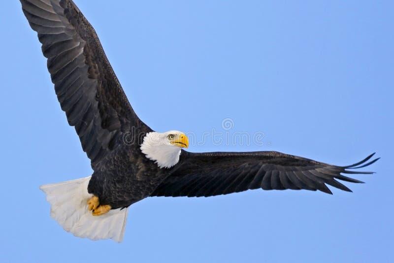 Águia americana americana bonita em voo, focalizado fotos de stock royalty free