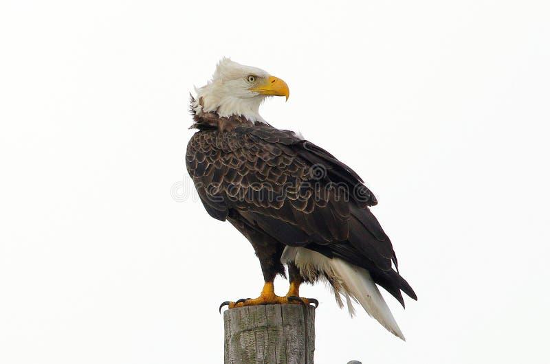 Águia americana americana com atitude foto de stock