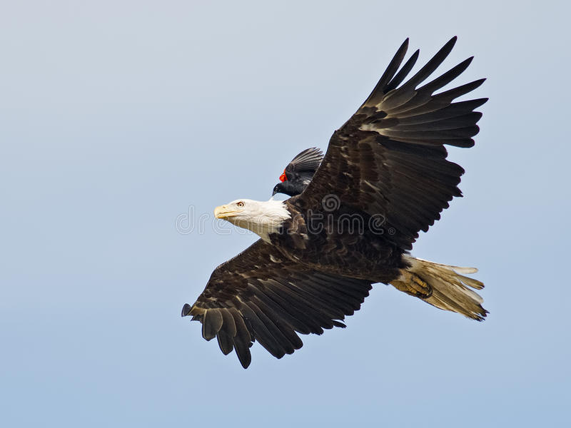 Águia americana com do pássaro parte traseira sobre fotografia de stock royalty free
