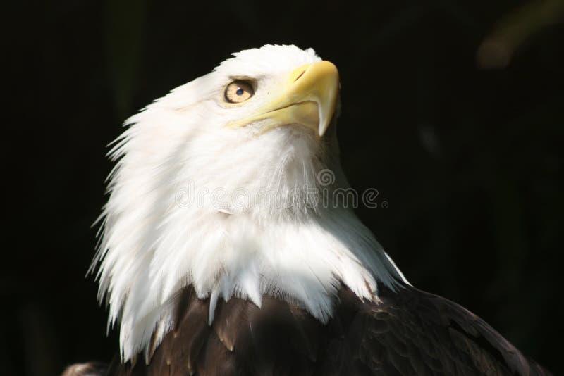 Águia americana da liberdade imagens de stock royalty free