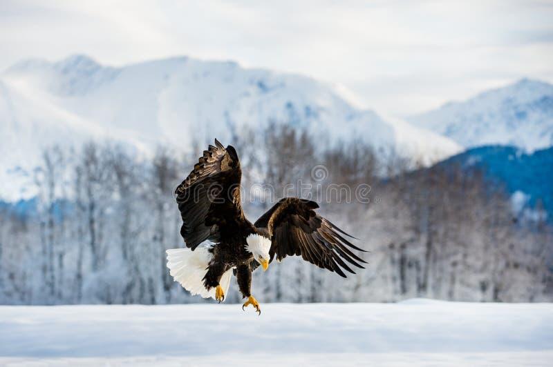 Águia americana do adulto da aterrissagem foto de stock