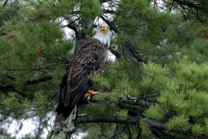 Águia americana do norte no pinho verde imagem de stock royalty free