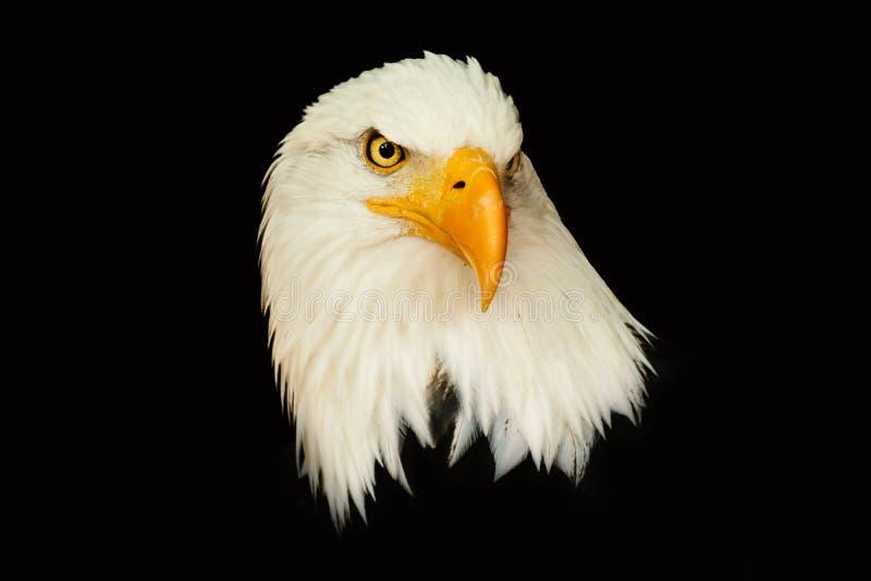 Águia americana do retrato no leucocephalus preto do Haliaeetus do fundo fotos de stock