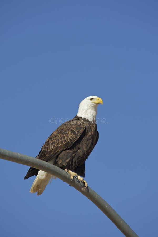 Águia americana em Pólo fotografia de stock