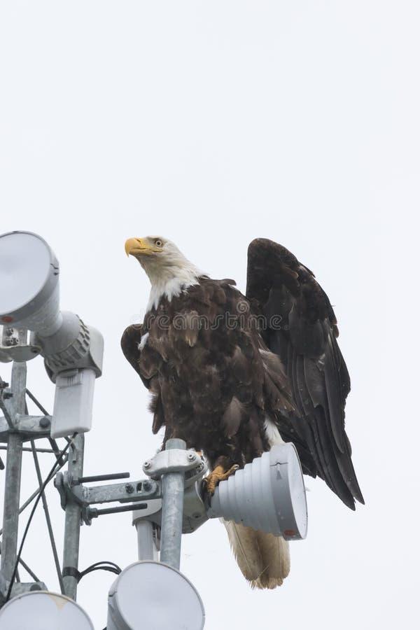 Águia americana em polo claro fotos de stock