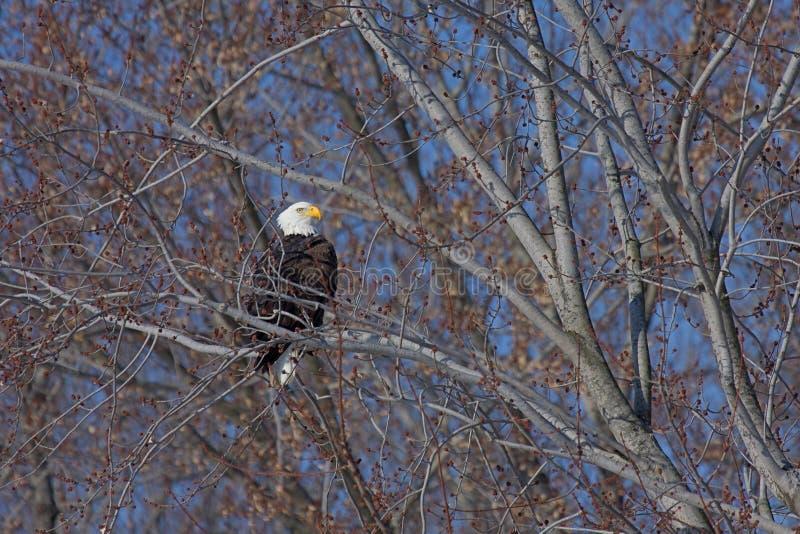 Águia americana em repouso fotografia de stock