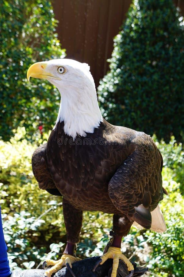 Águia americana em um jardim zoológico imagem de stock royalty free