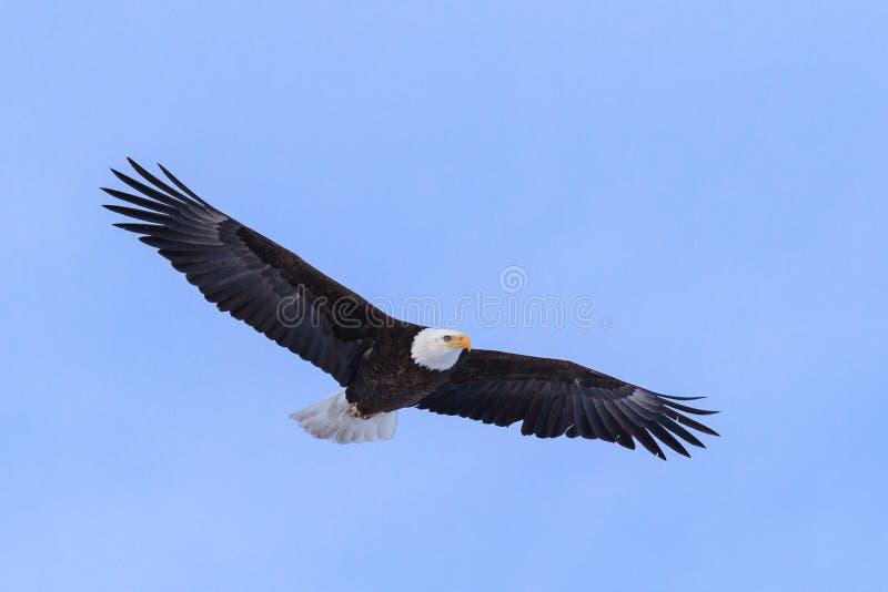 Águia americana americana em voo contra um céu azul claro fotografia de stock