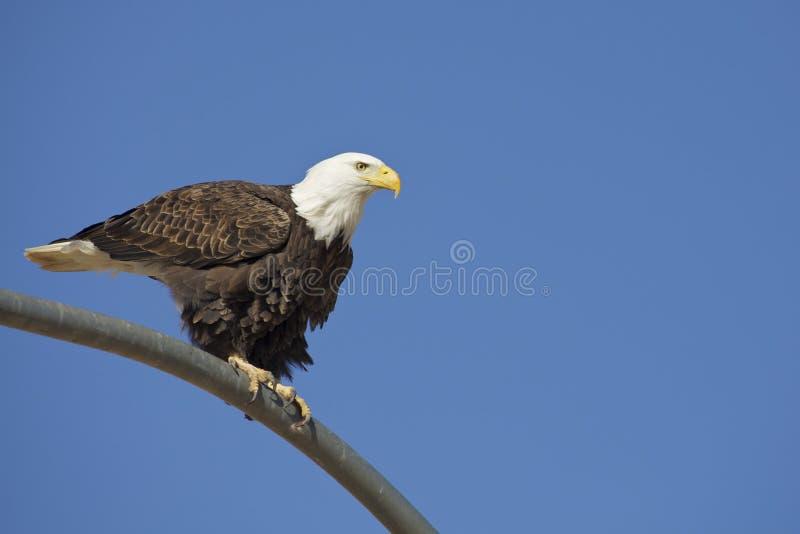 Águia americana empoleirada foto de stock royalty free