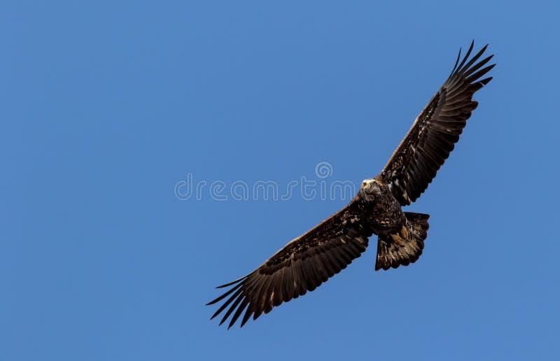 A águia americana americana imatura sobe contra um céu azul vívido fotos de stock royalty free