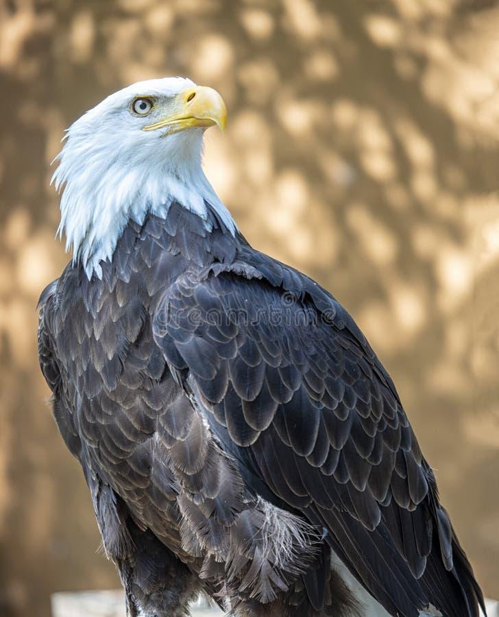 Águia americana madura que está poised e que olha elegante e forte fotografia de stock