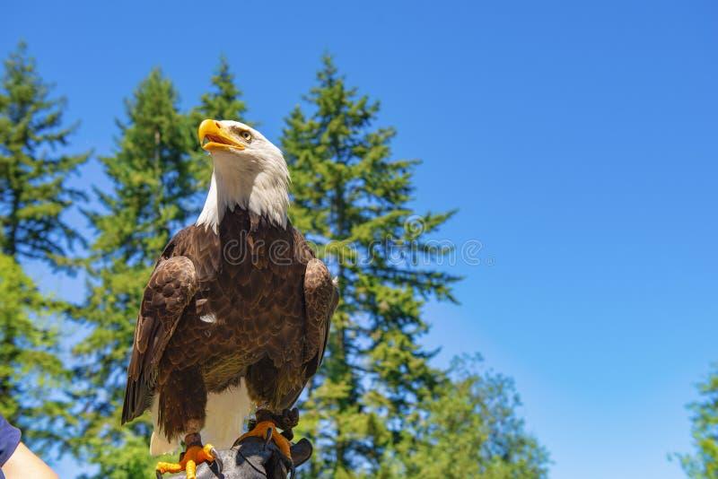 A águia americana no alimentadores arma-se em um centro do salvamento da ilha de Vancôver foto de stock royalty free