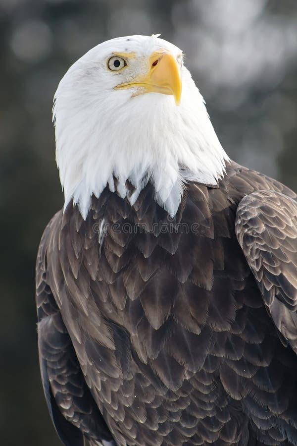 Águia americana no fundo escuro imagem de stock royalty free