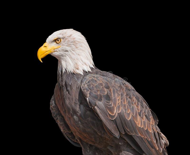 Águia americana americana no fundo preto fotografia de stock royalty free