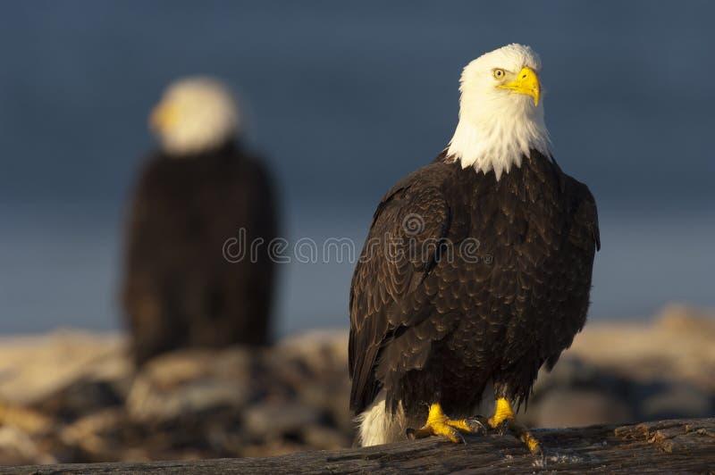 Águia americana no log com a águia fora de foco no fundo fotos de stock royalty free