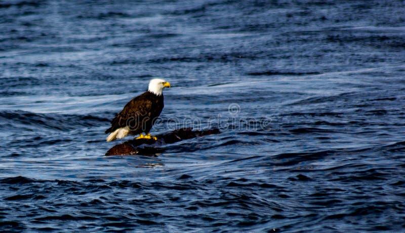 Águia americana no log de flutuação imagem de stock