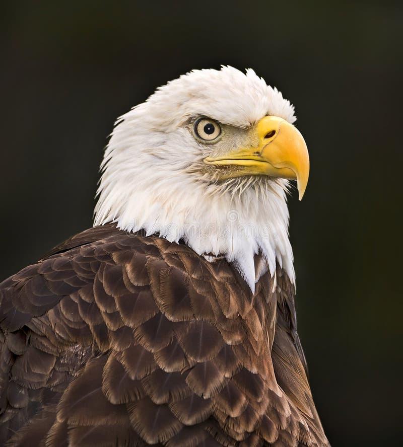 Águia americana no perfil imagem de stock