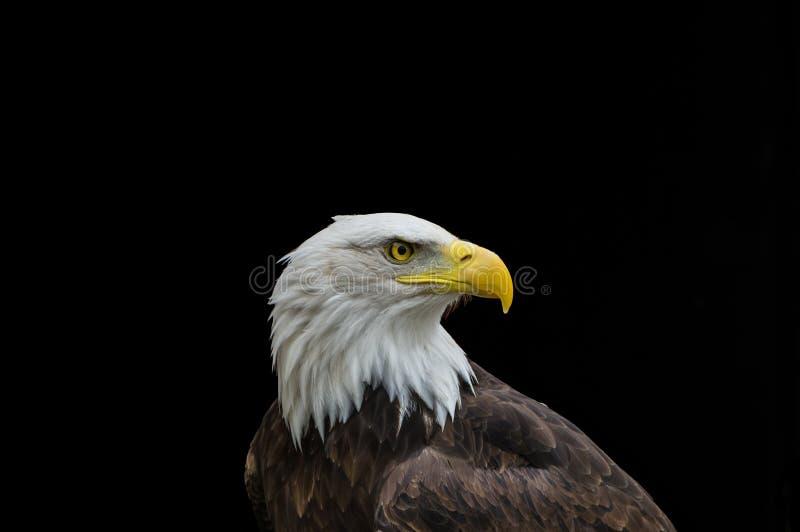 Águia americana no perfil isolada no fundo preto fotografia de stock royalty free