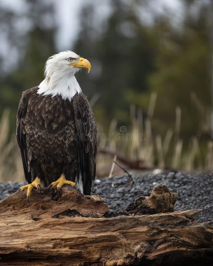 Águia americana poised em um fazer logon a praia foto de stock