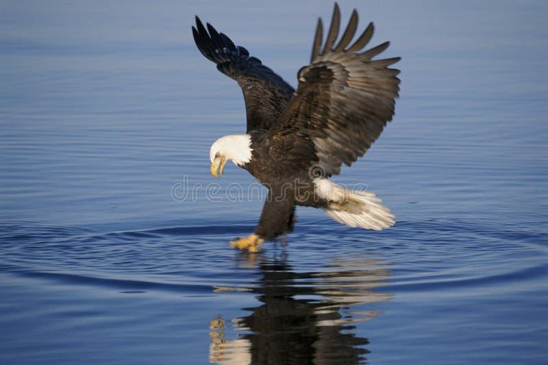 Águia americana que pesca sobre a água fotos de stock