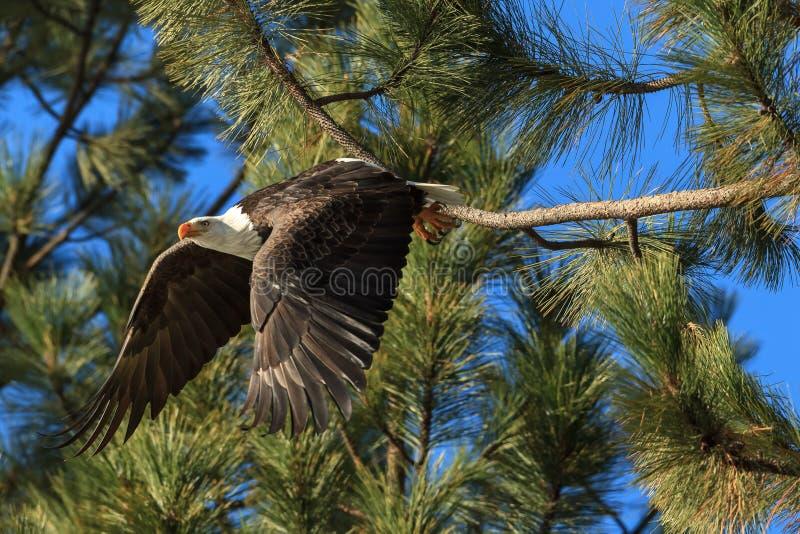 A águia americana toma o voo do pinheiro imagens de stock royalty free