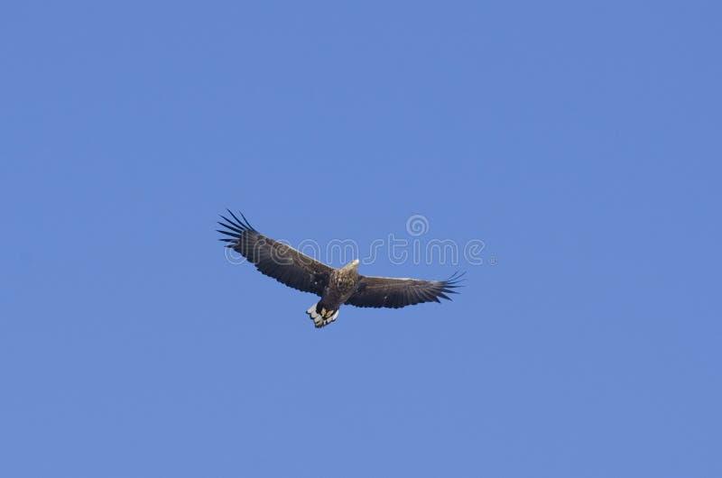 Download Águia Atada Branca (albicilla Do Haliaeetus) Imagem de Stock - Imagem de pássaro, mosca: 26520041