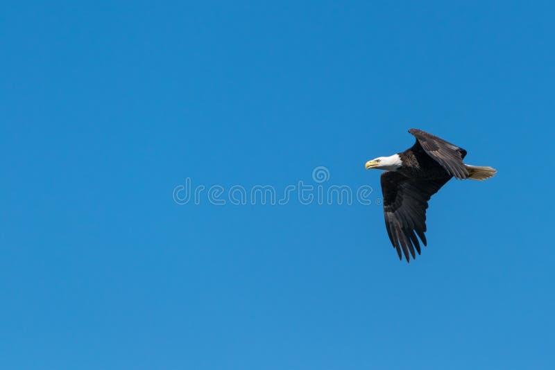 Águia Balda Voando sob o céu azul durante o dia fotos de stock royalty free