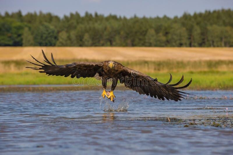 A águia Branco-atada imagem de stock