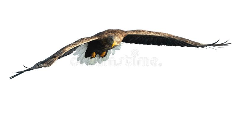 Águia branco-atada adulto em voo Isolado no fundo branco imagens de stock royalty free