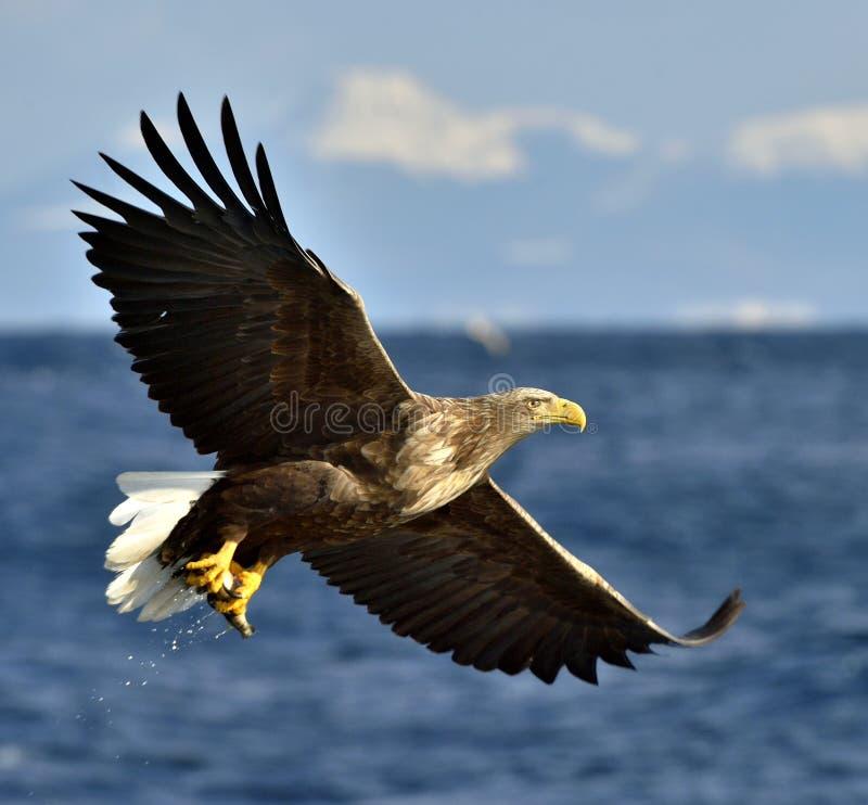Águia branco-atada adulto em voo Nome científico: Albicilla do Haliaeetus, igualmente conhecido como o ern, erne, águia cinzenta, imagens de stock royalty free