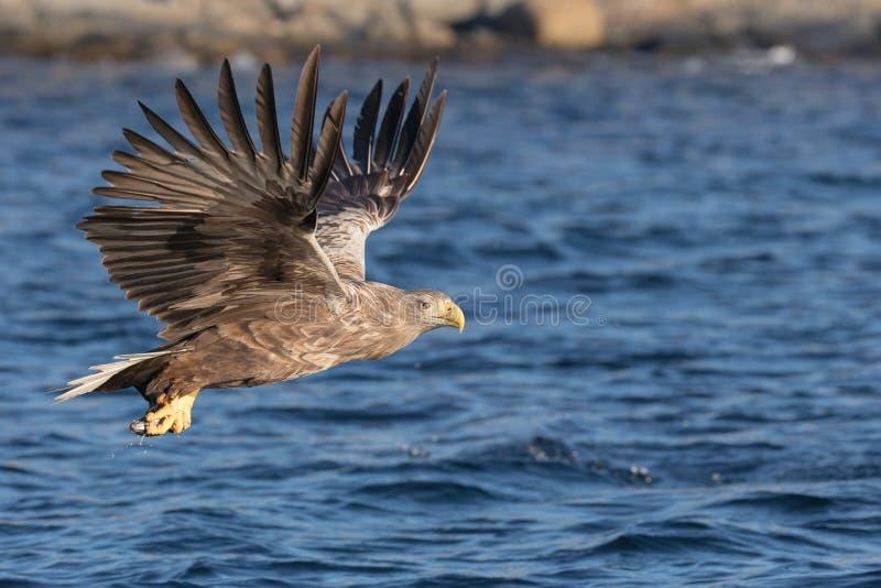 águia Branco-atada no vôo fotografia de stock