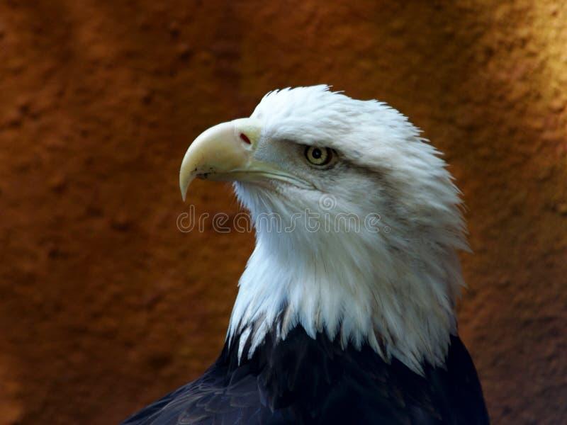 Download Águia calva foto de stock. Imagem de raptor, estados, águia - 114262