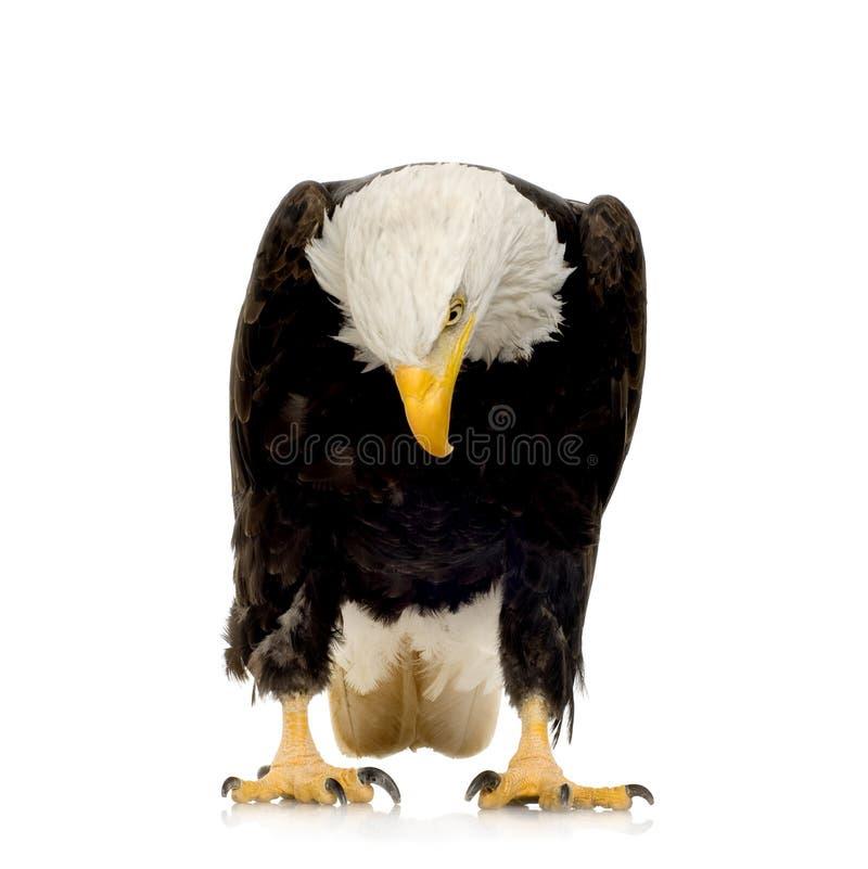 Águia calva (22 anos) - leucocephalus do Haliaeetus imagens de stock royalty free